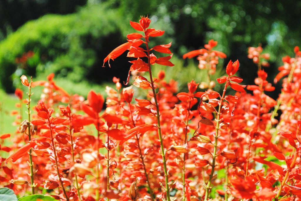 Red flowers at the Albury Botanical Gardens